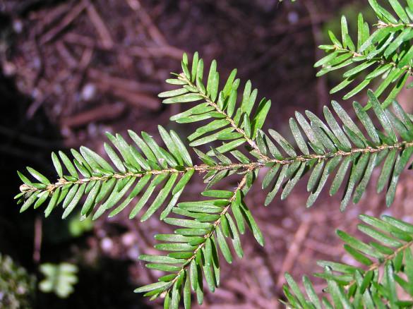 Tree of Life: Western Hemlock