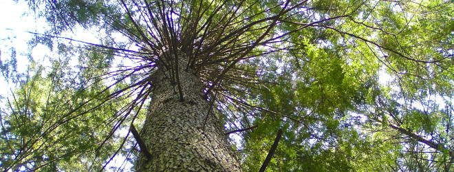 Tree of Life: Western Hemlock