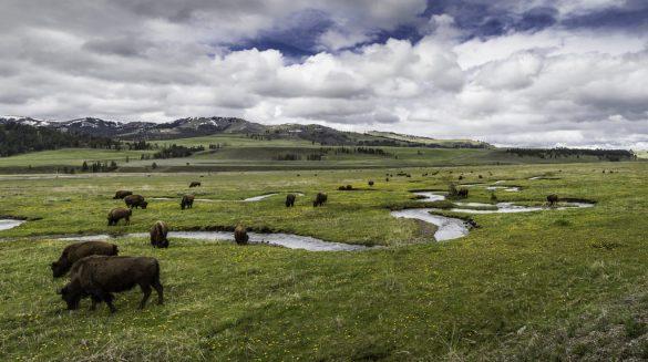 bison_grass